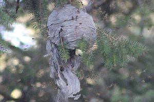 Smashed Wasp Nest